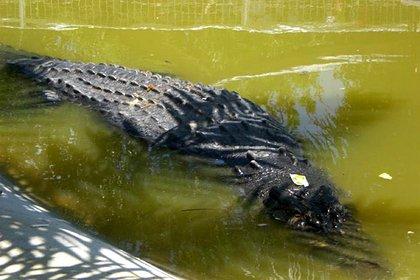 Крокодил укусил мужчину за голову