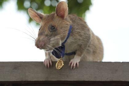 Крысу наградили медалью за храбрость при поиске мин